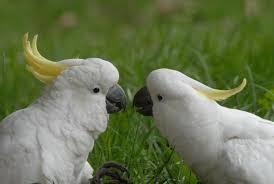cockatoos conversing